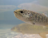 Free Baby Trout Royalty Free Stock Images - 4432239