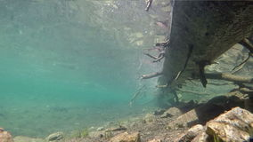 Baby trout swim in an Idaho mountain lake. Murky water filled with good eats for baby trout stock video footage
