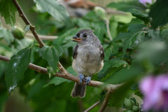 Baby tufted titmouse. An immature tufted titmouse perched in a bush waiting for its next meal Stock Photos