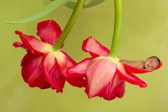 Baby in tulips Stock Photo