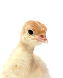 Baby turkey Royalty Free Stock Image