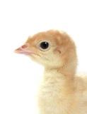 Baby turkey Royalty Free Stock Photos