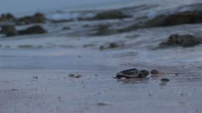 Baby turtle stock footage