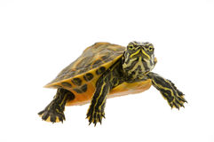 Baby Turtle. Photograph of a baby turtle suspended in water isolated on a white background stock photos