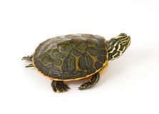 Baby Turtle. Photograph of a baby turtle walking across a white background royalty free stock photography
