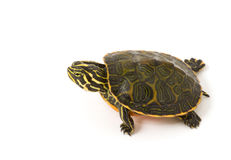 Baby Turtle. Photograph of a baby turtle walking across a white background Royalty Free Stock Images