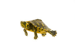 Baby Turtle. Photograph of a baby turtle swimming across a white background stock photo