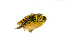 Baby Turtle. Photograph of a baby turtle swimming across a white background royalty free stock photography