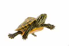 Baby Turtle. Photograph of a baby turtle swimming across a white background Stock Image