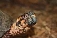 Baby turtle Royalty Free Stock Images