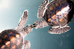 Free Baby Turtle Royalty Free Stock Images - 20890259