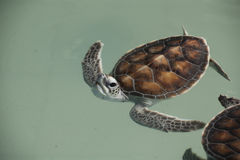 The baby turtle Royalty Free Stock Photo