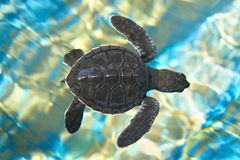 Baby turtle. Top view of baby turtle royalty free stock photo