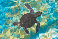 Baby turtle. Top view of baby turtle stock photos