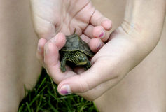 Baby turtle. Photo of a child holding a baby paint turtle in her hands royalty free stock photography