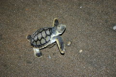 BABY TURTLE. A very cute baby turtle on the beach having only moments ago crawled from a nest of eggs and now heading directly down to the ocean edge to swim Royalty Free Stock Images