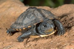 Baby turtle. Baby box turtle Royalty Free Stock Image