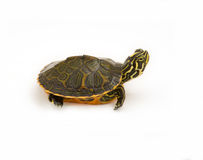 Baby Turtle. Photograph of a baby turtle isolated on a white background stock photos