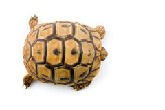 Baby turtle from above Stock Images