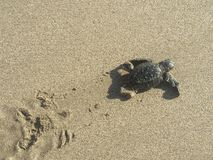 Baby turtle on the beach royalty free stock image