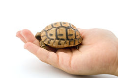 Baby turtle in a child hand Royalty Free Stock Photography