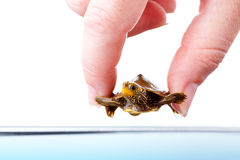 Baby turtle. Closeup image of fingers holding baby Common Map Turtle over water surface Royalty Free Stock Images