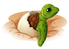 Baby Turtle Coming Out Of Shell Stock Photography