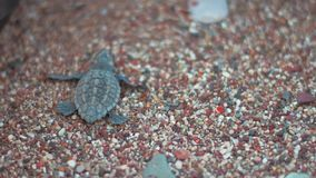 Baby turtle crawling on beach sand towards sea. Tuttle creeping along seashore. Baby turtle crawling on beach sand towards sea. Small turtle walking in direction stock video footage
