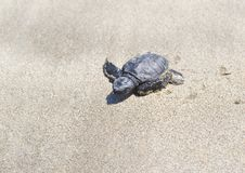 A baby turtle crawling through the sand to the ocean. Bali. Indonesia. Wildlife, animal life in the wild royalty free stock images