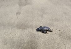 A baby turtle crawling through the sand to the ocean. Bali. Indonesia. Wildlife, animal life in the wild royalty free stock photos