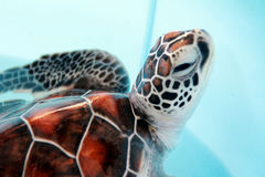 A baby turtle. Cute, animal, color, sea, marine, beautiful, turtle, blue, shell, background, wallpaper, reptiles, scutes, leathery skin, brown, white Royalty Free Stock Photos