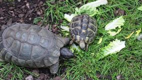 Baby Turtle eating Lettuce stock video