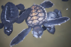 Baby turtle in a farm Stock Images