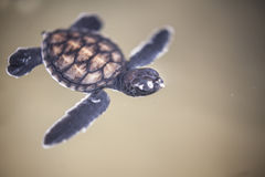 Baby turtle in a farm Royalty Free Stock Image