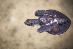 Baby turtle in a farm Royalty Free Stock Photo