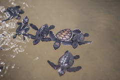Baby turtle in a farm Royalty Free Stock Photography