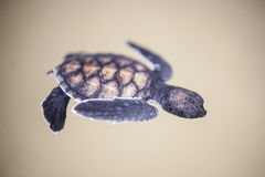 Baby turtle in a farm Stock Photography