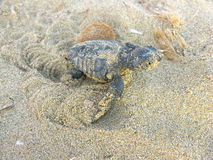 Baby Turtle. A baby turtle fresh from the nest struggling through sand to make the sea Royalty Free Stock Images