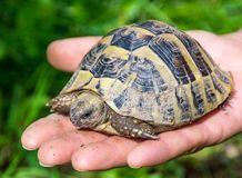 Baby turtle on the hand. Geochelone sulcata. Close - up Royalty Free Stock Photos