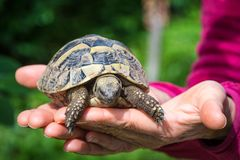 A baby turtle on the hand. Geochelone sulcata. Close- up Royalty Free Stock Image