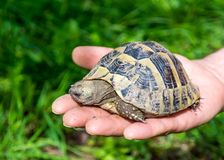 Baby turtle on the hand. Geochelone sulcata. Close - up Royalty Free Stock Photo