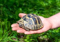 Baby turtle on the hand. Geochelone sulcata. Close - up Royalty Free Stock Image