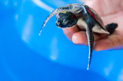 Baby turtle Stock Photo