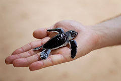 Baby turtle. Hand holding a baby sea turtle at a turtle farm in Sri Lanka, Asia Royalty Free Stock Image