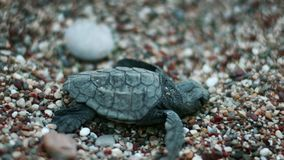 Baby turtle hatched from egg. Newborn turtle crawling on sand and seeking sea. Macro of sea turtle creeping on beach to ocean. New wild animal came into world stock video