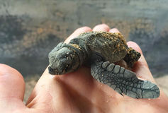Baby turtle hatched from egg. Small sea turtle born in sanctuary. Stock Image