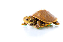 Baby turtle. Image of a baby Common Map Turtle against white background Stock Photos