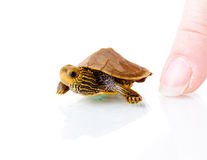 Baby turtle. Image of a baby Common Map Turtle against white background with human finger for scale Stock Photography