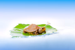 Baby turtle on a leaf. Image of a baby Common Map Turtle floating on a leaf Stock Photo