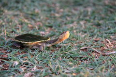 Tiny long necked Turtle Stock Images
